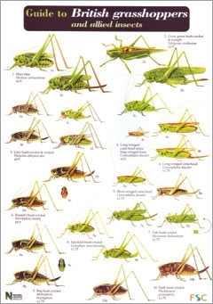 Laminated Field Guide GRASSHOPPERS & ALLIED INSECTS
