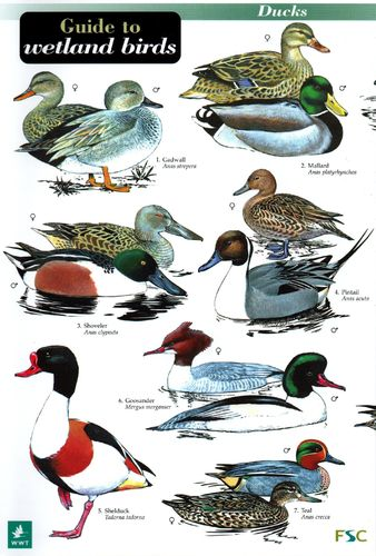 Laminated Field Guide WETLAND BIRDS
