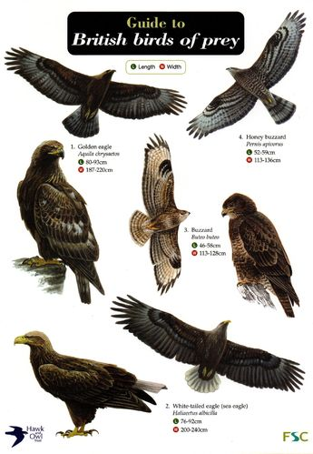 Laminated Field Guide BIRDS OF PREY